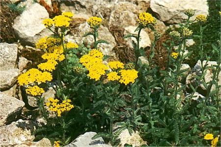 Achillea chrysocoma