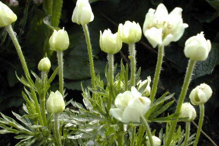 Anemone narcissiflora var. crinita