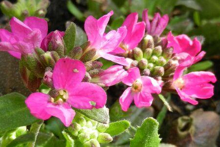 Arabis blepharophylla 'Frühlingszauber'
