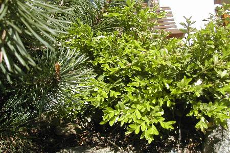 Buxus microphylla var. koreana