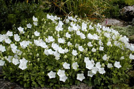 Leontopodium alpinum 'Matterhorn'