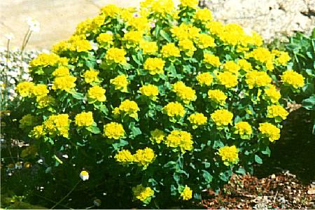 Euphorbia polychroma 'Sonnenkind'