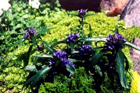 Gentiana cruciata ssp. cruciata