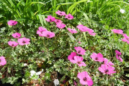 Geranium cinereum 'Guiseppii'
