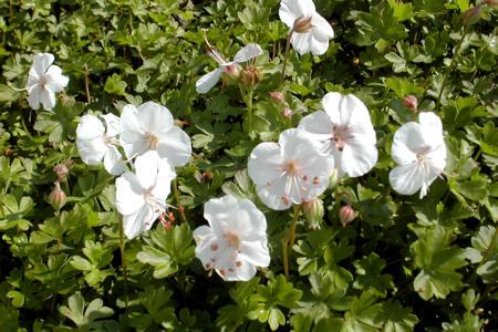 Allium sphaerocephalon 'Paukenschl�gel'