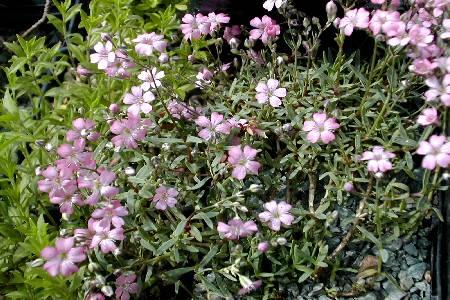 Pflanzen für die mauerkrone in sonniger lage