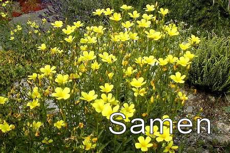 Iris setosa nana