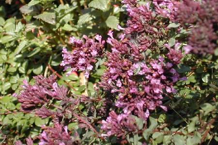 Hypericum polyphyllum 'Grandiflorum'