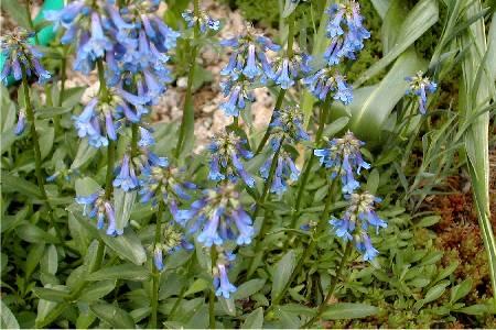 Primula juliae 'Wanda'
