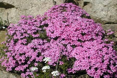 Pflanzen in nanopics steingartenpflanzen - Winterharte steingartenpflanzen ...