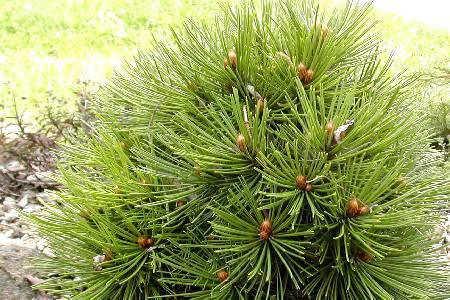 Pinus leucodermis 'Smithii'