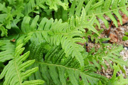 Polypodium vulgare 'Bifido-Multifidum'