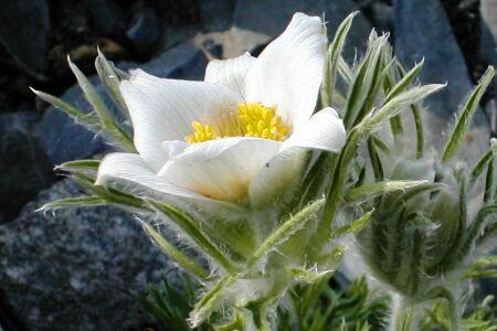 Pulsatilla vulgaris 'Weiße Glocke'