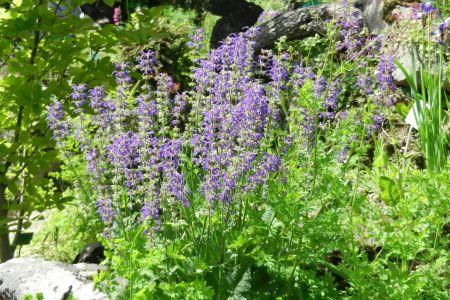 Salvia pratensis 'Summer Nights'