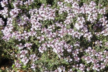 Thymus richardii 'Peter Davis'